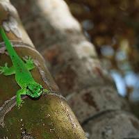 Gecko vert, Phelsuma Madagascariensis