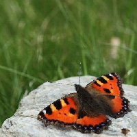 Papillon petite tortue (Aglais urticae)